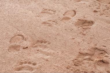 Human, polar bear and musk ox tracks in the sand