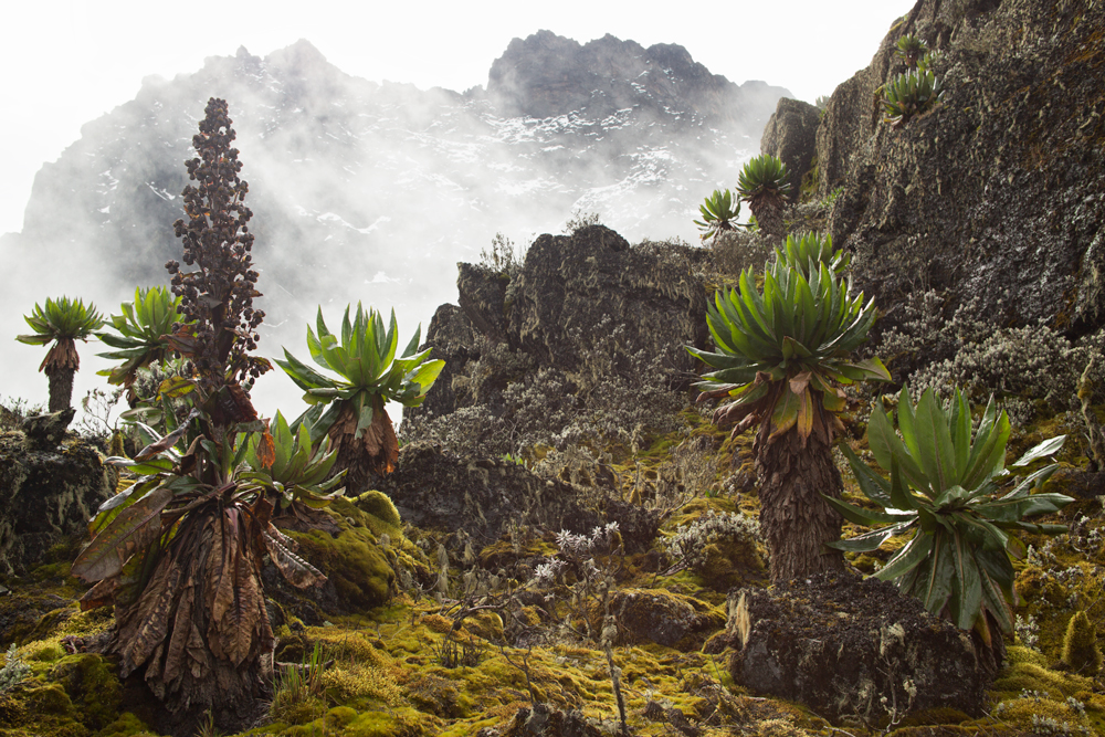 Afroalpine vegetation in the Rwenzori Mountaiins, Africa