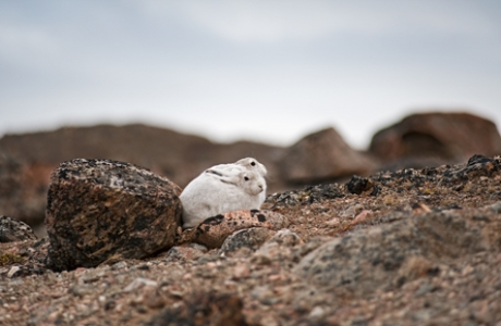 Two Arctic Hare cubs sitting behind a rock in the tundra of Jameson Land, East Greenland