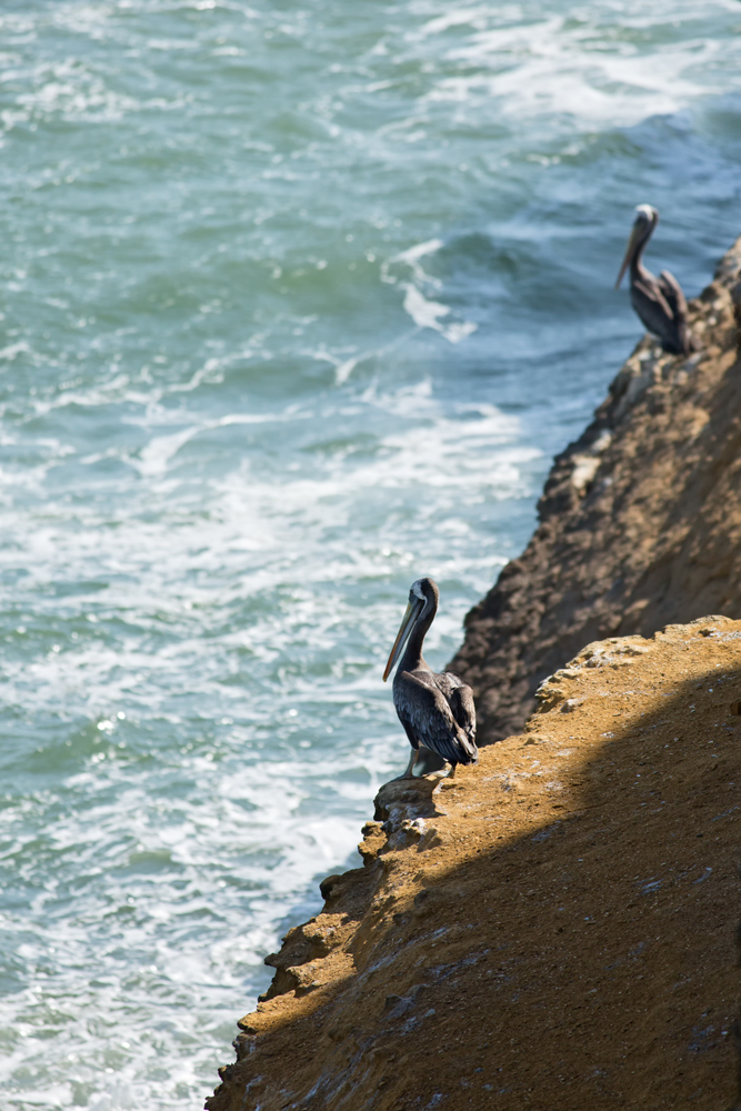 Peruvian Pelican (Pelecanus thagus) on a cliff in the Paracas peninsula