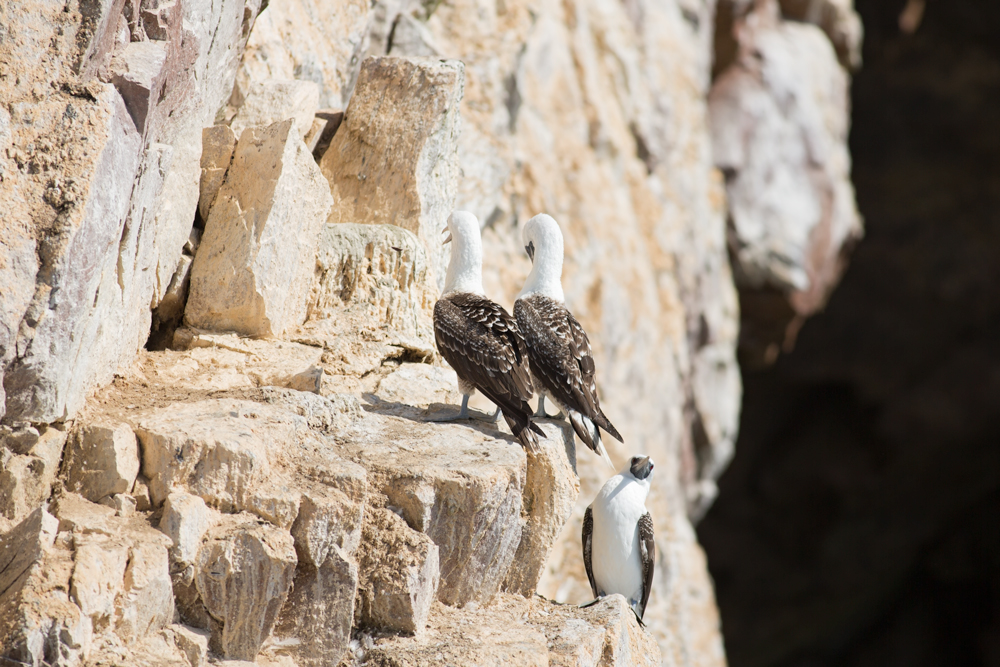 Peruvian Boobies resting on a cliff in Ballestas Islands, Perù