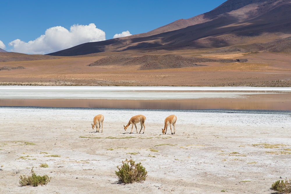 Small herd of vicugnas grazing near a small lagoon in the Reserva Eduardo Avaroa, Bolivian altipiano