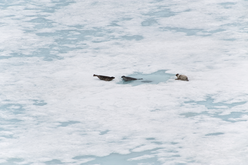 Ringed Seals hauling-out near their breathing hole