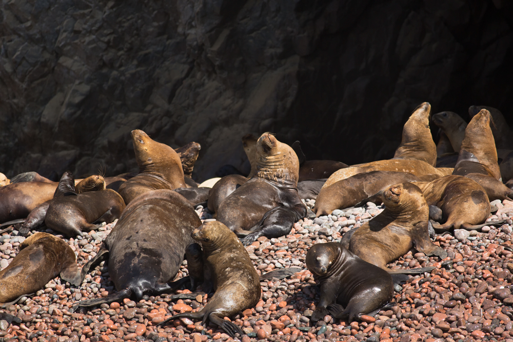 South American Sea Lion (Otaria flavescens) rookery on the Ballestas Islands, near Paracas peninsula, Perù