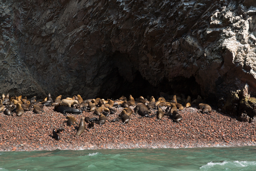South American Sea Lion (Otaria flavescens) rookery on Ballestas Islands, near the peninsula of Paracas, Perù