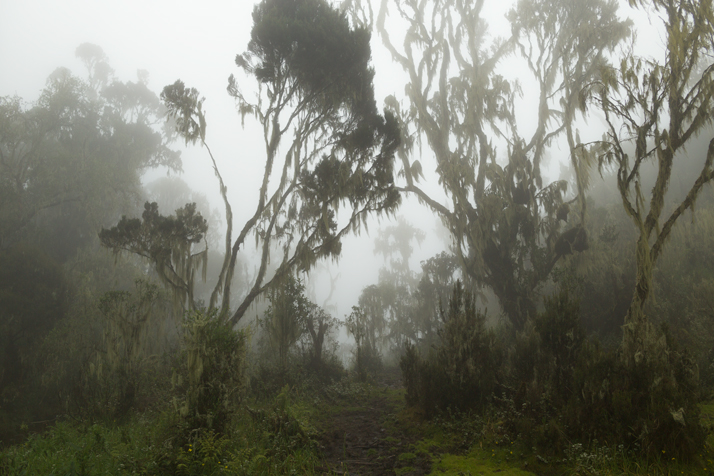 Trail in the enchanted cloud forest in the mist on the Rwenzori Mountains, Uganda