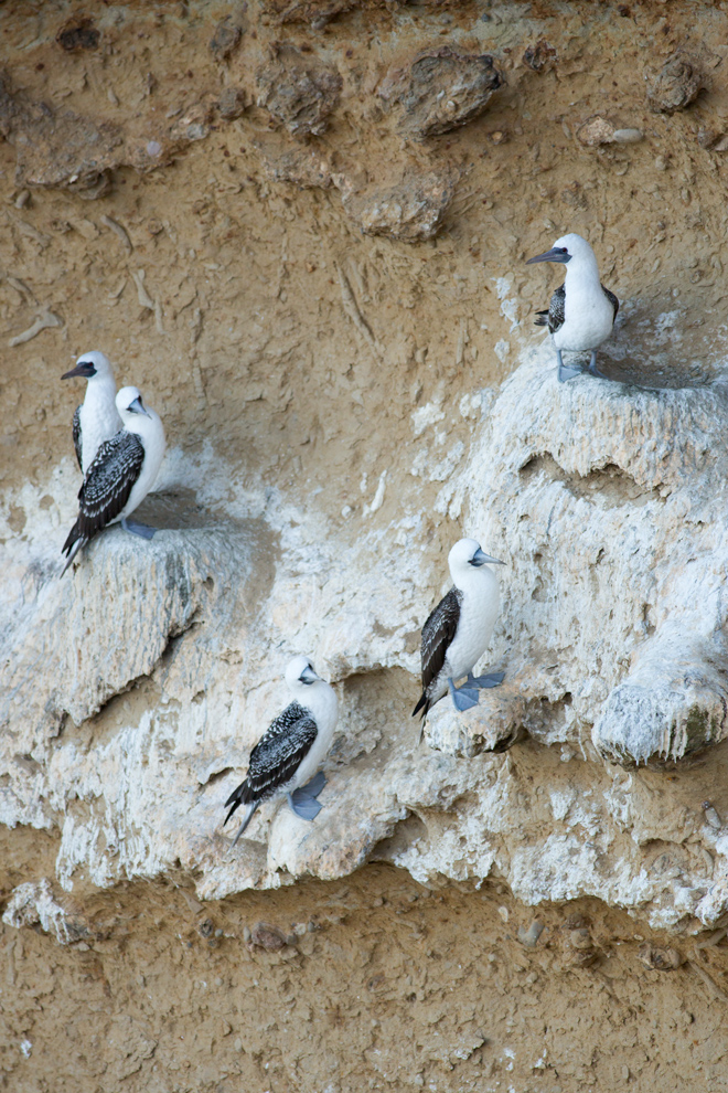 Peruvian boobies nesting on a cliff in the Paracas peninsula with considerable guano deposits