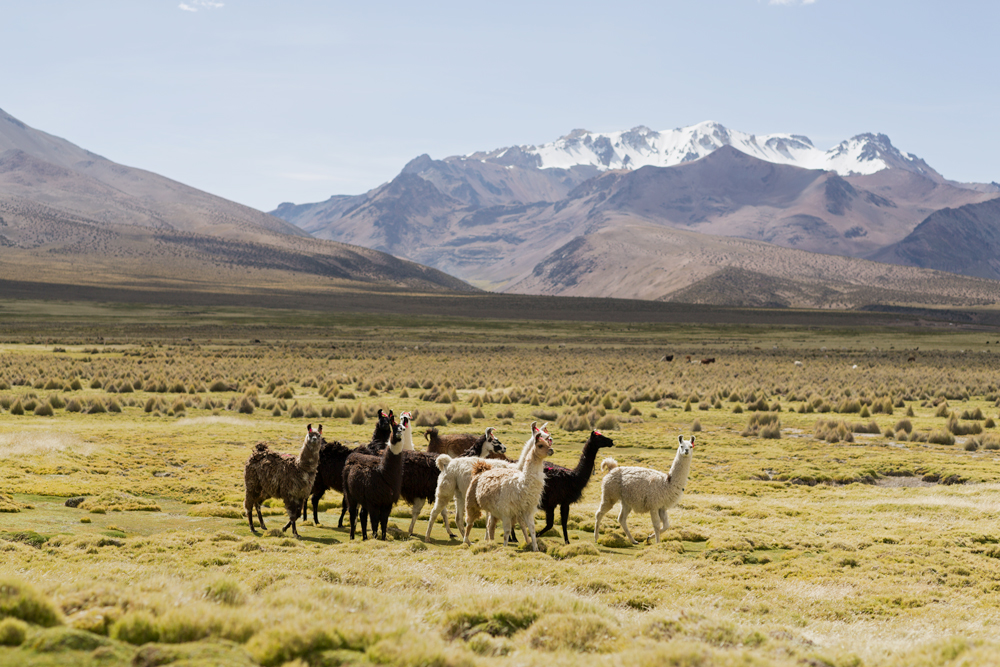 Herd of lamas walking in the steppe near to the volcano Parinacota, in the region of Sajama, Bolivia