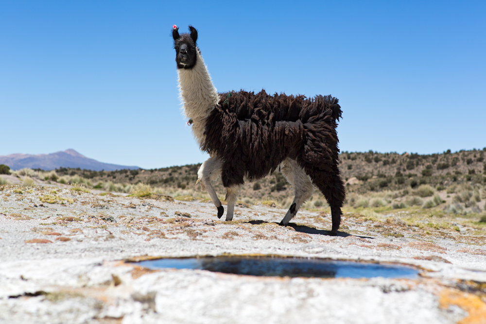 Solitary Lama walking near a hot spring in the Ande
