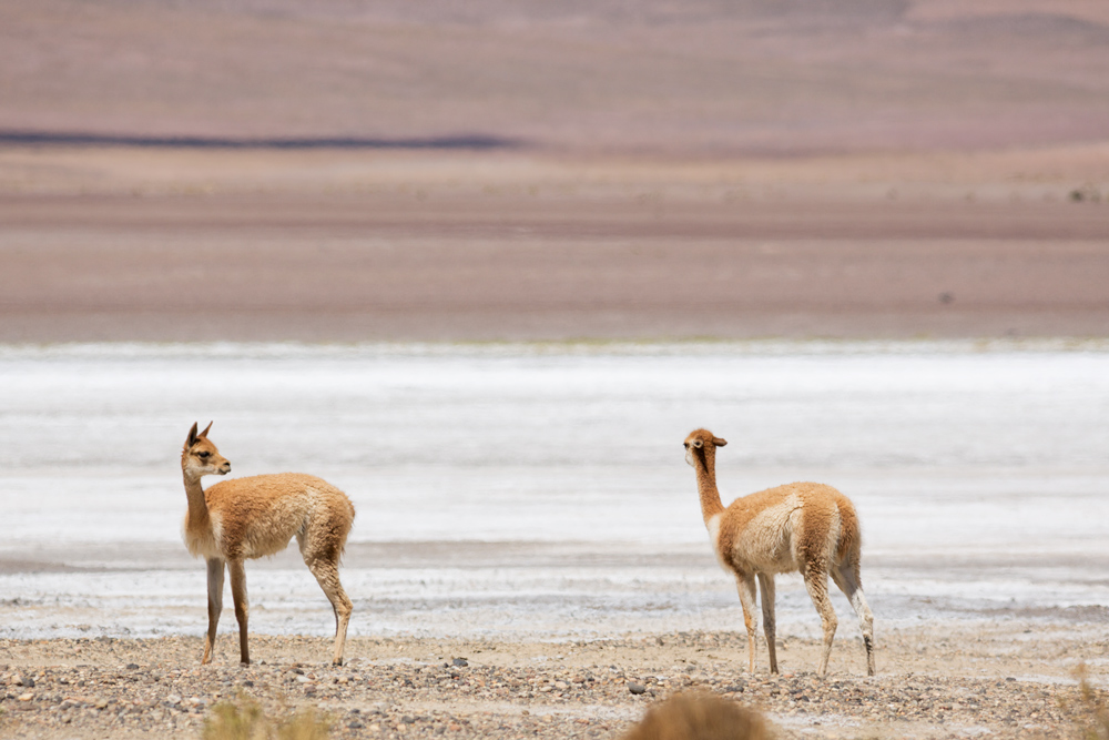 Two vicugnas in the arid landscape of the Reserva Eduardo Avaroa in Bolivia