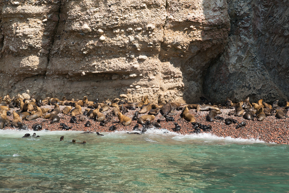 South American Sea Lion rookery below a cliff on the Ballestas Islands, near the peninsula of Paracas, Peru