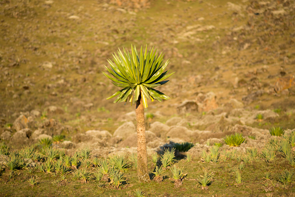 Solitary giant lobelia standing in the Web Valley in the Bale Mountains, Ethiopia
