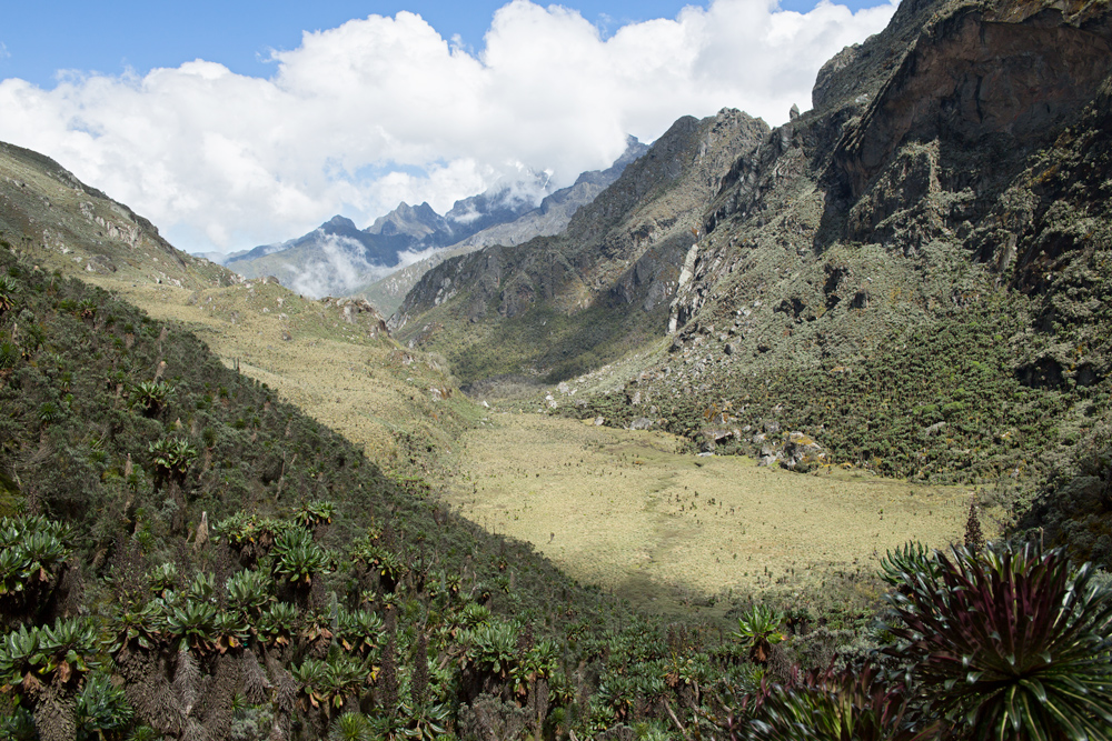 Forest with dendrosenecios and giant lobelias in the Rwenzori Mountains, Uganda.