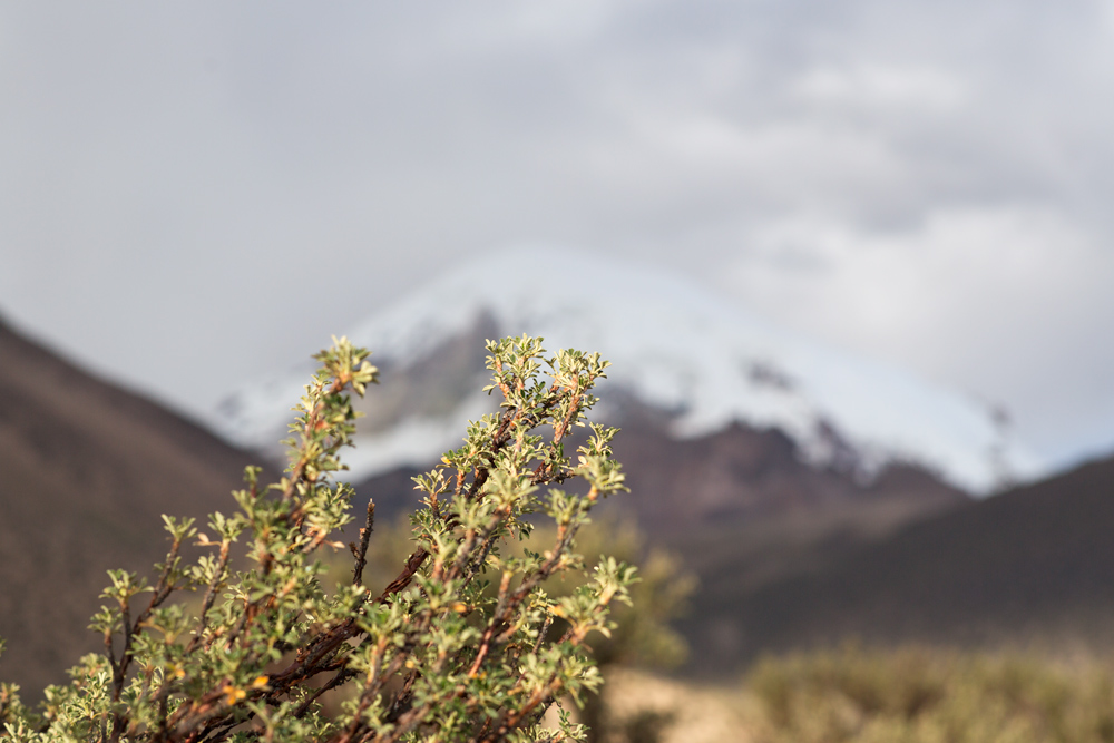 Close up of a plant of the genus Polylepis, with the volcano Sajama in the background