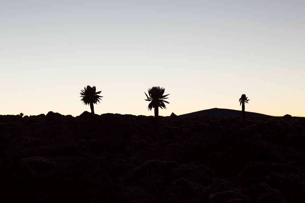 Silhouette of giant lobelias in the Sanetti Plateau in Ethiopia