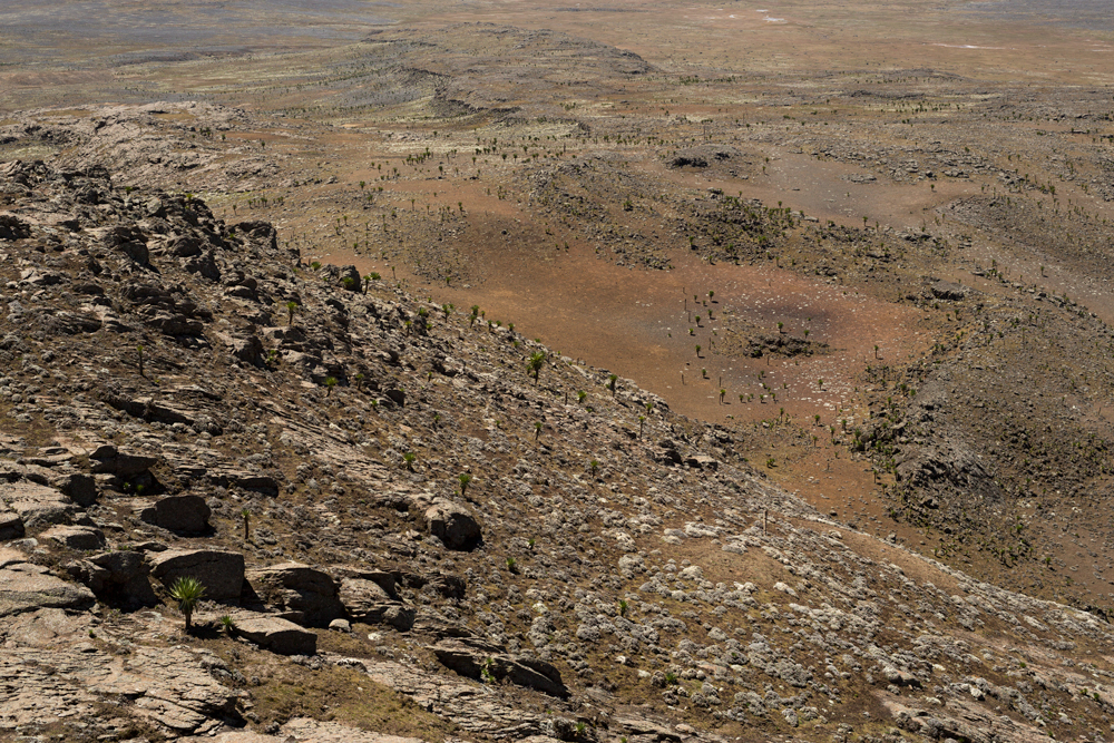 Afroalpine vegetation, consisting mainly of giant lobelias, in the steppe of the Sanetti Plateau, Ethiopia