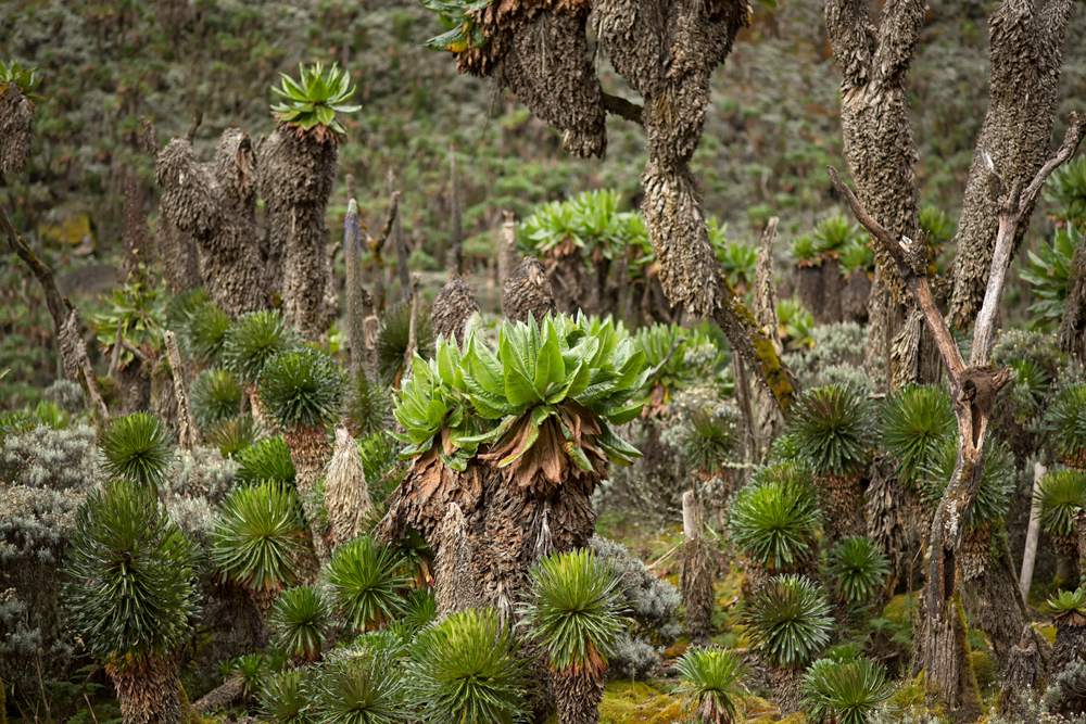 Close-up of luxuriant forest of dendrosenecios and lobelias on the Rwenzori Mountains
