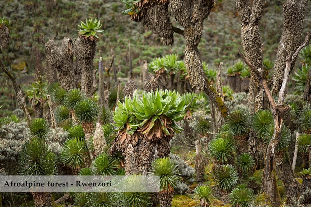 Forest of Dendrosenecios