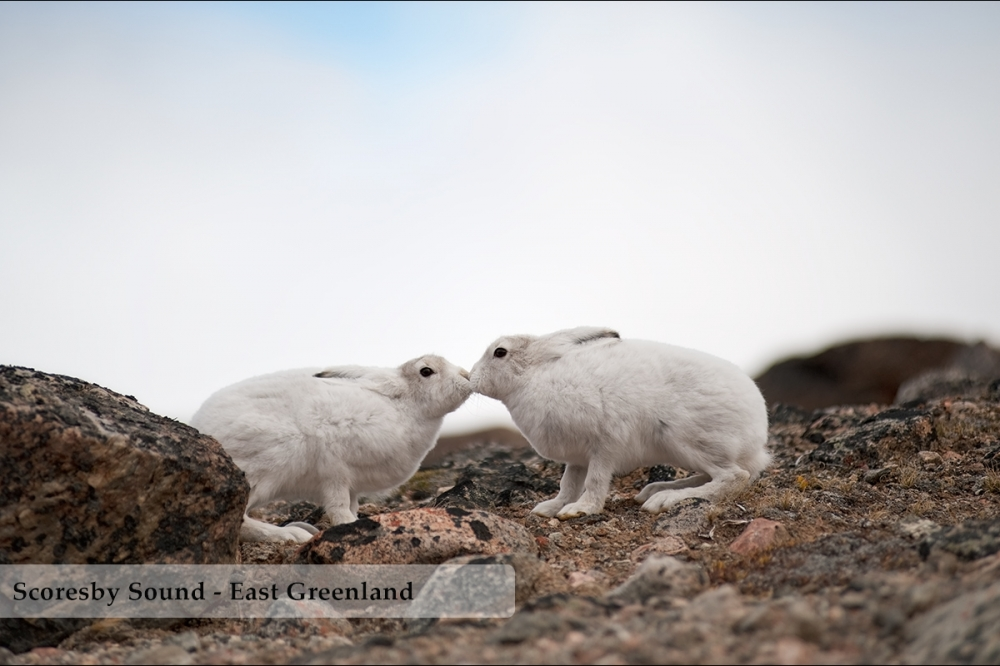 Two Arctic Hare kissing